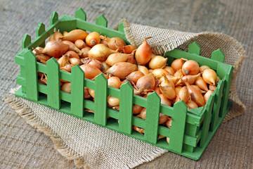 Studio image of small onion bulbs in green box