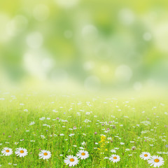 Beautiful summer background. Meadow with a flower of camomiles.