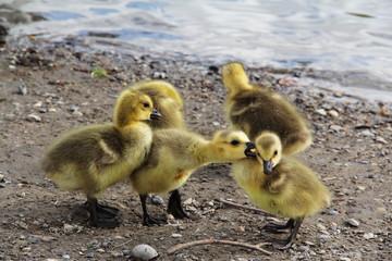 Yellow Duck Chicks