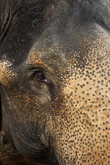 Elephant;  Cambodia
