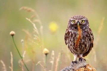 Fototapete - The little owl sits on a stone with a centipede in its beak.