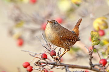 Very close up photo of eurasian wren sits on a branch surrounded red berries