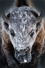 Tuinposter Buffel Hoarfrost
