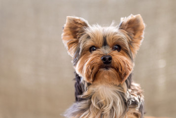 Portrait of Cute Yorkshire Terrier isolated on brown background