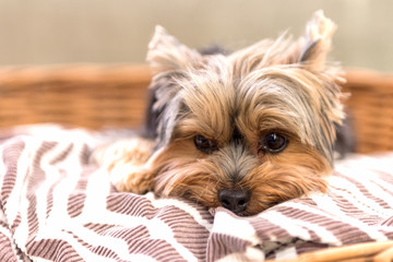 Tired Yorkshire Terrier laying in basket