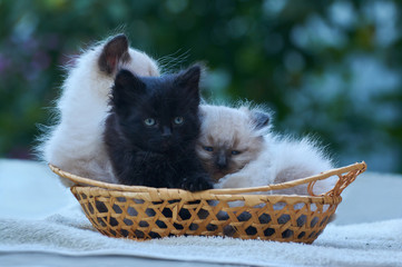two balinese and one black kitten sitting in a basket on a table