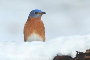 Fotoväggar - Male Eastern Bluebird in Snow