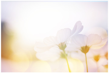 small white flower blooming in the morning sun.selective focus. Wall mural