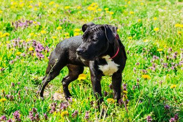 Black American Staffordshire Terrier Puppy Dog