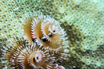 Christmas Tree Worms Underwater Scuba
