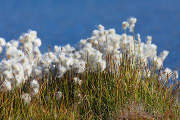 Beautiful white flowers od cottongrass