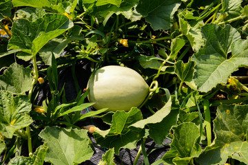 Melon plant in a vegetable garden
