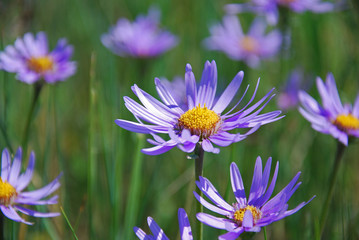 Purple daisies in the grass