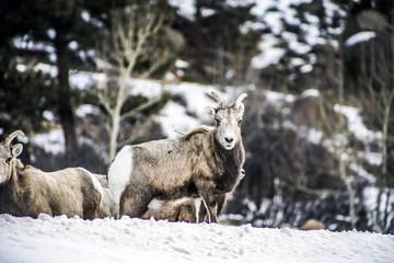 Bighorn sheep herd in Rocky Mountain National Park in Estes Park Colorado