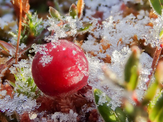 Frosty cranberry at a bog