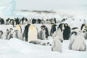 Colony of Emperor Penguins - Antarctica