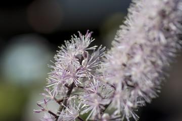 Sunny cimicifuga flowers