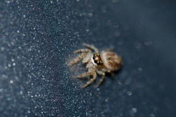 Jumping spider (Salticidae). Garajonay National Park. La Gomera. Canary Islands. Spain.