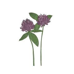 Hand drawn clover flower, vector