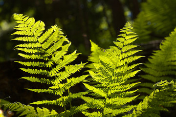 Leaves of fern shining through the sun light