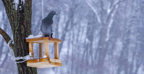The pigeon at a feeding trough in winter