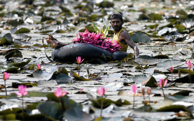A man collects lotus flowers to sell whilst floating on a tire tube at a pond in Colombo