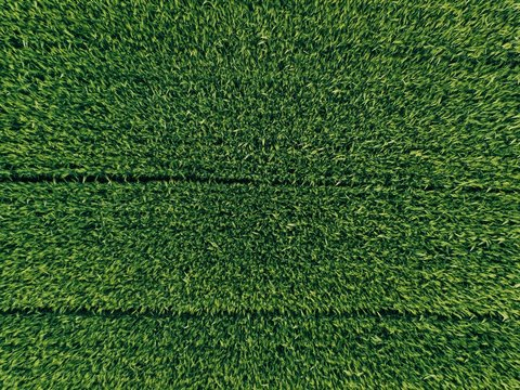 green country field of rye with row lines, top view, aerial photo