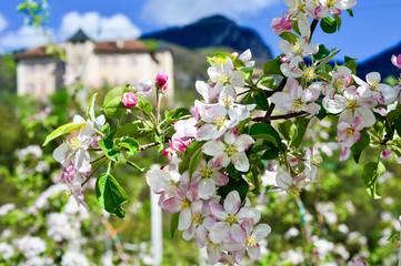 Meli in fiore presso palazzo antico