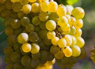 Common grape vine