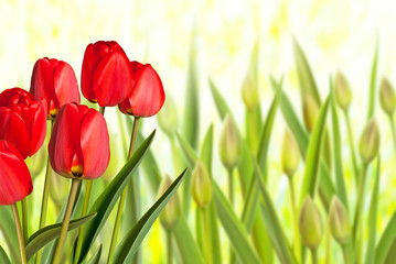 Red Tulips in the Flower Bed in the Garden.