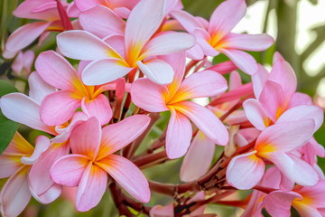 A lushly flowering branch with pink-yellow flowers of a tropical plumeria / frangipani tree.