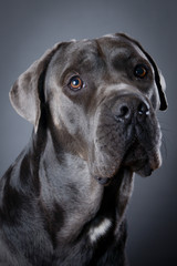 Studio portrait of beautiful Cane Corso