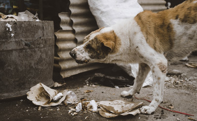 Jimbaran Straßenhund