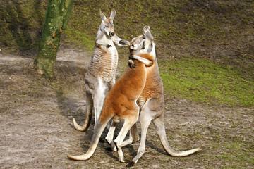 Foto auf Leinwand Kanguru Juf kangoeroe wil ruzie stoppen.