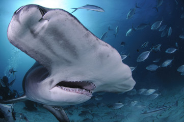 Close up Face Shot of Great Hammerhead Shark Swimming in Clear Waters of Bahamas