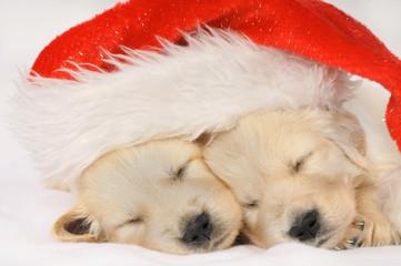 Schlafende Golden Retriever Welpen mit Weihnachtsmütze