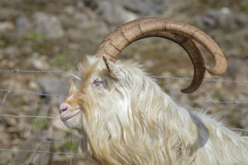 Wild Kashmiri Goat Close Up Profle