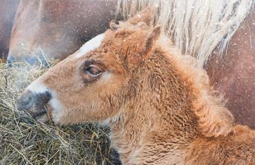 Fototapeta Portrait of a little foal in the snowfall.