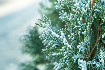 First freeze. Thuja tree with hoar frost.