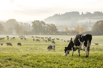 Poster de jardin Vache Red and black Holstein cows are grazing on a cold autumn morning on a meadow in Switzerland