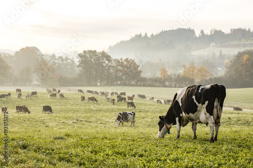 Fototapete Red and black Holstein cows are grazing on a cold autumn morning on a meadow in Switzerland