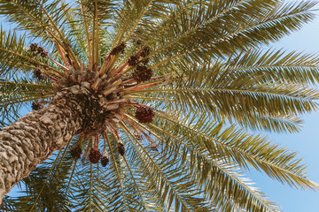 palm with dates