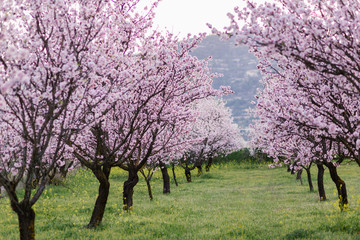 garden with blooming almonds and cherry trees