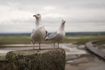 Two seagulls on Mont Saint Michel