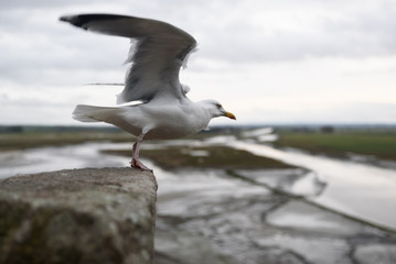 Seagull on Mont Saint Michel