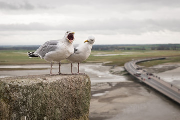 Two seagulls singing and screaming on Mont Saint Michel