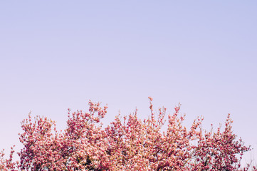 Top Pink Flowers Tree Branches