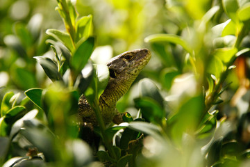 Green wild lizard hidden among the bush leafs. Little reptile closeup view.
