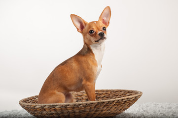 Chihuahuas dog in studio on a white background
