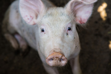 Shot of a little pig on a farm.